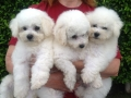 Cooper_Betsy_pups_500