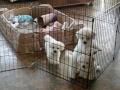 HollyCasper_puppies11wks20140112_120323_500