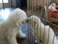 HollyCasper_puppies20131226_111130_500