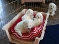 Puppies, 9 weeks_111044
