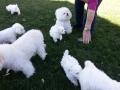Puppies, 9 weeks_102513