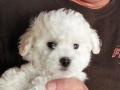 Bo, 10 weeks old