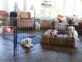 Puppies, 10 weeks old