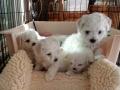 puppies, 6 weeks old