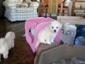 Puppies, 8 weeks